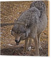 Grey Wolf   #2637-signed Wood Print