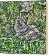 Grey Wolf Dreaming Wood Print
