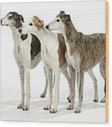 Greyhound Dogs Wood Print