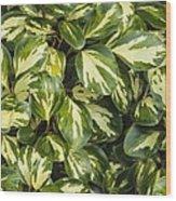 Grisilinia Littoralis 'dixon's Cream' Wood Print