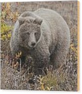 Grizzly Amongst Fall Foliage In Denali Wood Print