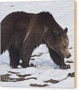 Grizzly Bear  #2463 Wood Print