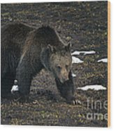 Grizzly Bear  #2510 Wood Print