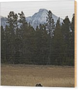 Grizzly Bear  #5245 Wood Print