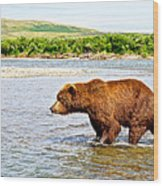Grizzly Bear Determined To Catch A Salmon This Time In The Moraine River  Wood Print