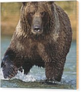 Grizzly Bear Female Looking For Fish Wood Print