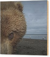 Grizzly Bear In Tidal Flats Alaska Wood Print