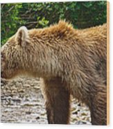 Grizzly Bear Very Close In Moraine River In Katmai National Preserve-ak Wood Print