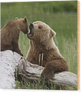 Grizzly Bear With Cub Playing Wood Print