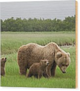 Grizzly Bear With Spring Cubs Wood Print
