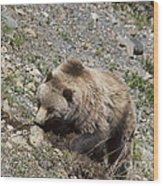 Grizzly Digging Wood Print