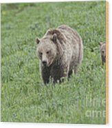 Grizzly Family On Dunraven Wood Print