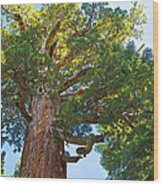 Grizzly Giant Sequoia Top In Mariposa Grove In Yosemite National Park-california    Wood Print