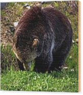 Grizzly Grazing Wood Print