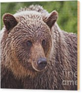 Grizzly Portrait Wood Print