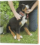 Grooming Bernese Mountain Puppy Wood Print