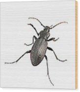 Ground Beetle Carabus Hortensis Wood Print