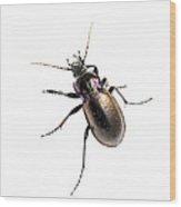 Ground Beetle Carabus Nemoralis On White Background Wood Print