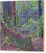Ground Level Landscape In Armstrong Redwoods State Preserve Near Guerneville-ca Wood Print