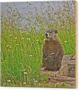 Groundhog At Point Amour In Labrador Wood Print