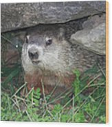 Groundhog Hiding In His Cave Wood Print