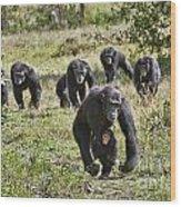 group of Common Chimpanzees running Wood Print