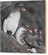 Group Of Parakeet Auklets, St. Paul Wood Print