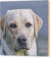 Guide Dog In Training Wood Print