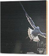 Gull In Flight Wood Print