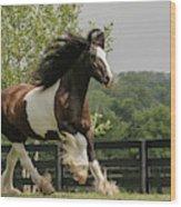 Gypsy Vanner Horse Running, Crestwood Wood Print