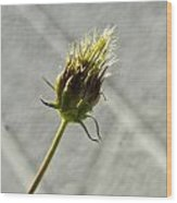 Hairy Plant Seed Pod 3 Wood Print
