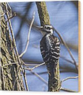 Hairy Woodpecker - Female Wood Print