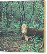 Haleakala National Park Hawaii Cow On Waterfall Trail Wood Print
