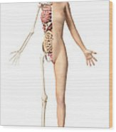 Half Cutaway View Showing Skeleton Wood Print by Leonello Calvetti