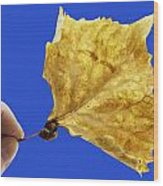 Hand Holding Dry Cottonwood Leaf Wood Print