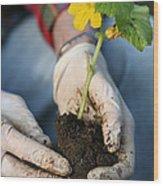 Hands Planting Plant Wood Print