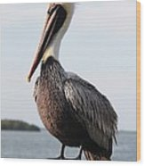 Handsome Brown Pelican Wood Print