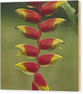 Hanging Heliconia Blooming In Rainforest Wood Print