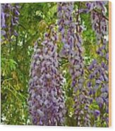 Hanging Wisteria Blossoms Wood Print