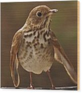 Happy Hermit Thrush Wood Print