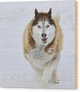 Happy Husky Wood Print