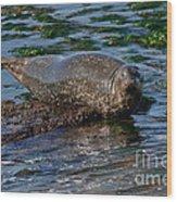 Harbor Seal At Low Tide Wood Print