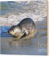 Harbor Seal Wood Print by David Davis
