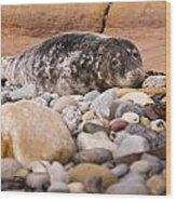 Harbour Seal   Wood Print