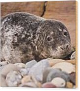 Harbour Seal Close Up Wood Print