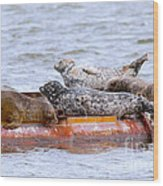 Harbour Seals Lounging Wood Print
