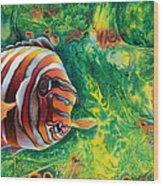 Harlequin Tuskfish Wood Print