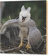Harpy Eagle Threat Posture Amazonian Wood Print