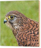 Harris Hawk In Profile Wood Print