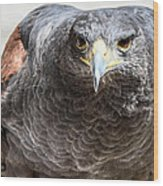 Harris Hawk Ready For Attack Wood Print